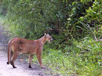 On the prowl for the Florida panther