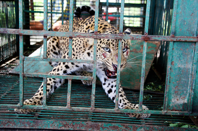 For India's Captive Leopards, A Life Sentence Behind Bars