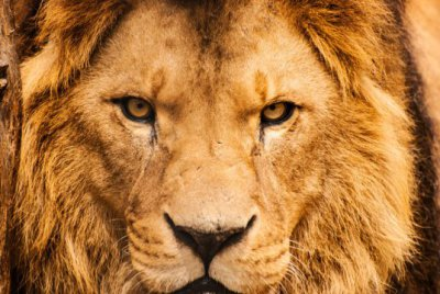 Trophy hunting of lions can conserve the species, report suggests