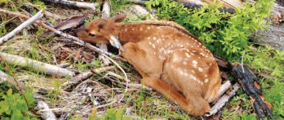 JWM study: Mountain lions dominate elk calf mortality