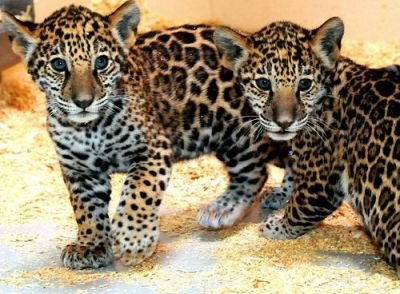 Mexico rescues 2 abandoned jaguar cubs