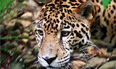 Study: Fragmented jaguar groups in Mexico show inbreeding Read more at http://www.wral.com/study-fragmented-jaguar-groups-in-mexico-show-inbreeding/16166315/#lF5kOKXt5kZxykmC.99