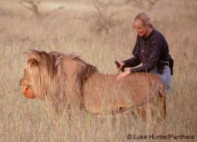 Captive lion reintroduction programs in Africa operate under 'conservation myth'